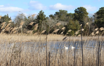 beach grasses & Mute Swans at Cape May Point State Park