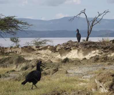 Abyssinian Ground Hornbills in Lake Langano, Ethiopia