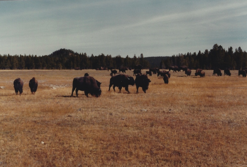 Bison at Yellowstone 10/9/79