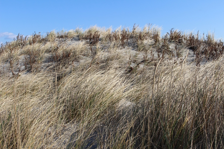 beach grasses at Stone Harbor