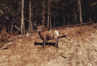 Big Horn Sheep on Mt. Norquay 10/15/79