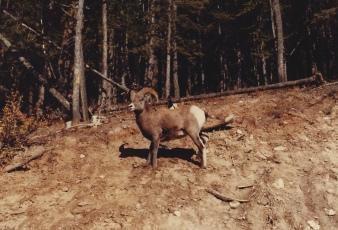 Big Horn Sheep on Mt. Norquay 10/15/79