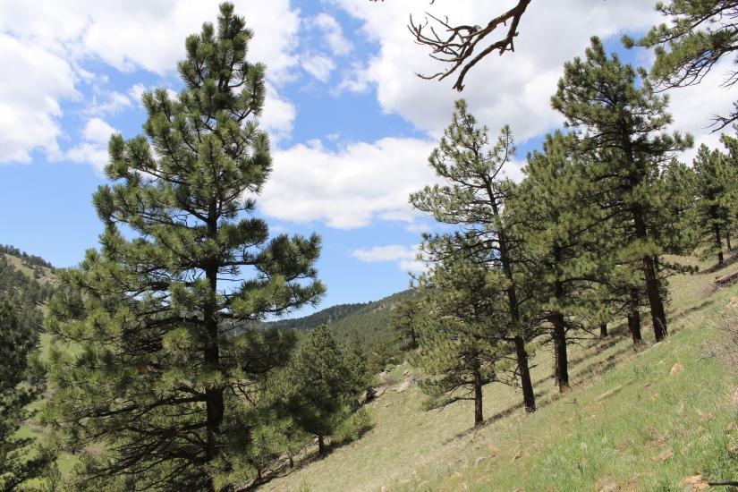 Ponderosa Pines