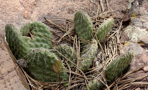 Plains Prickly Pear