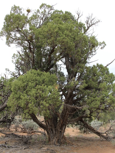 Utah juniper