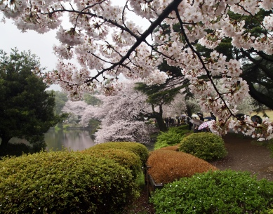 cherry blossoms at Shinjuku Gyoen Garden