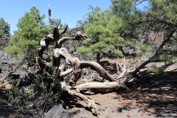 gnarled pines