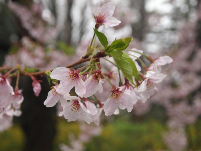 cherry blossoms at Shinjuku Gyoen Garden