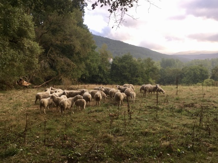 sheep on the way to Larrasoaña