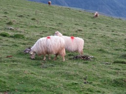 long-haired sheep