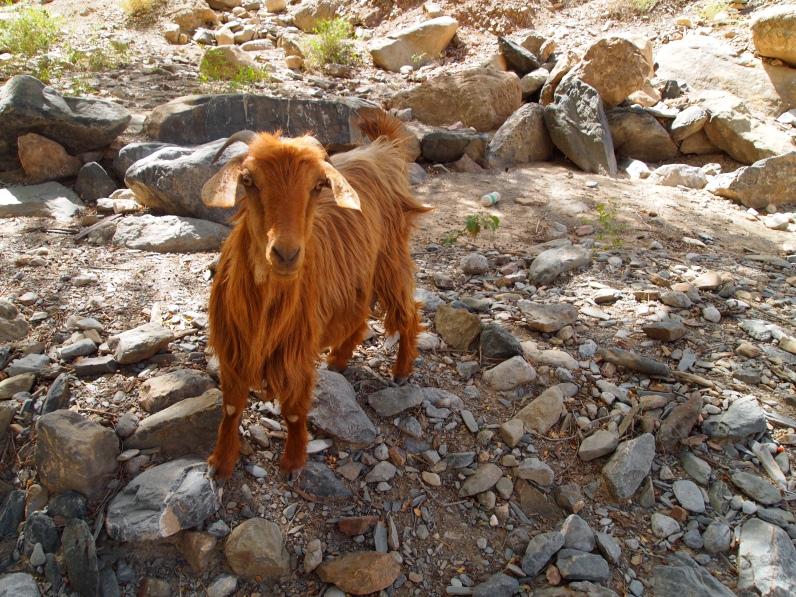 goat in Wadi Bani Awf