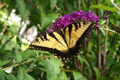 butterfly in Marlbank