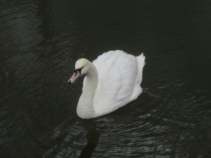 swan at Parque da Pena