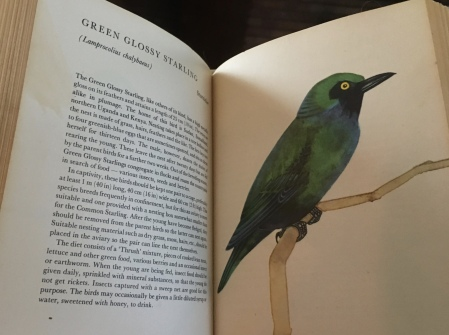Green Glossy Starling