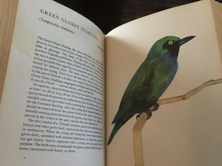 Green Glossy Starling