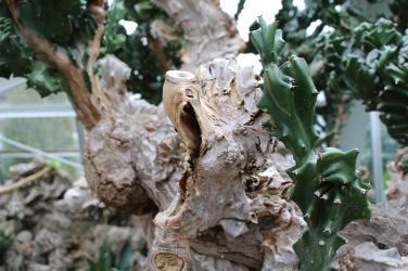 Elkhorn Euphorbia