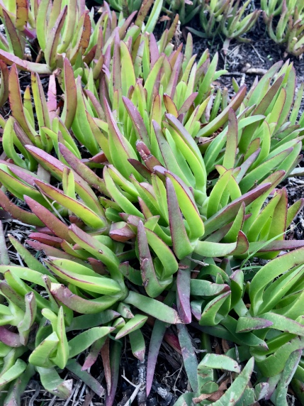 ice plant at Cabo da Roca