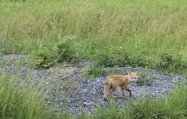baby fox at Bombay Hook