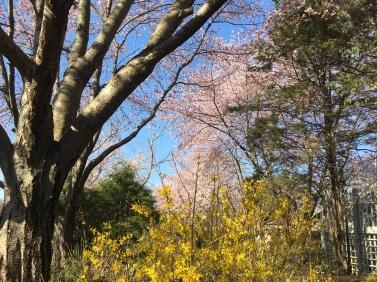 Cherry blossoms at Meadowlark Gardens