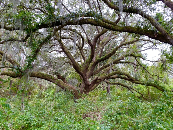 Oaks at Charles Pinckney National Historic Site
