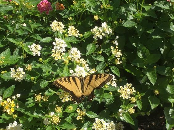 butterfly near Lake Anne