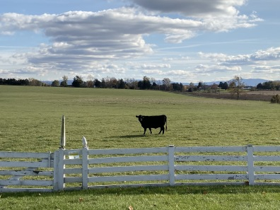 cow at Cedar Grove