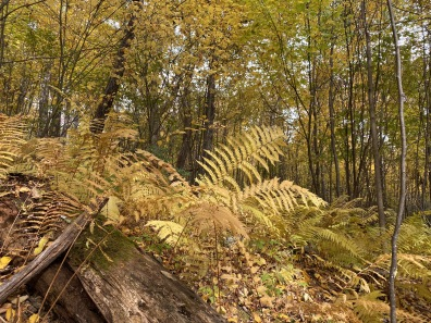 ferns on the Meadow Spring Trail