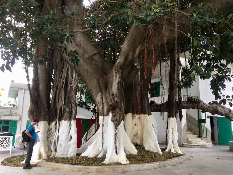 banyan tree in Mendoubia Gardens