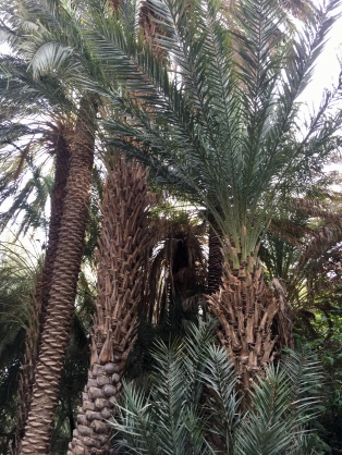 palms in the oasis