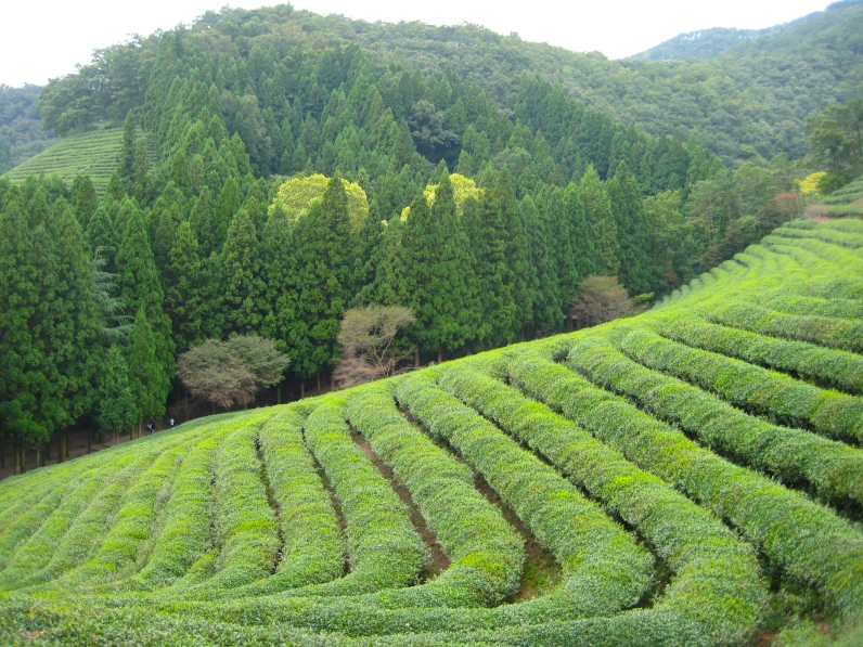 Boseong Tea Plantation, Korea
