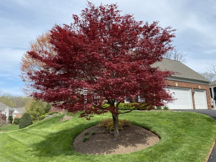 12 minutes: Japanese maple