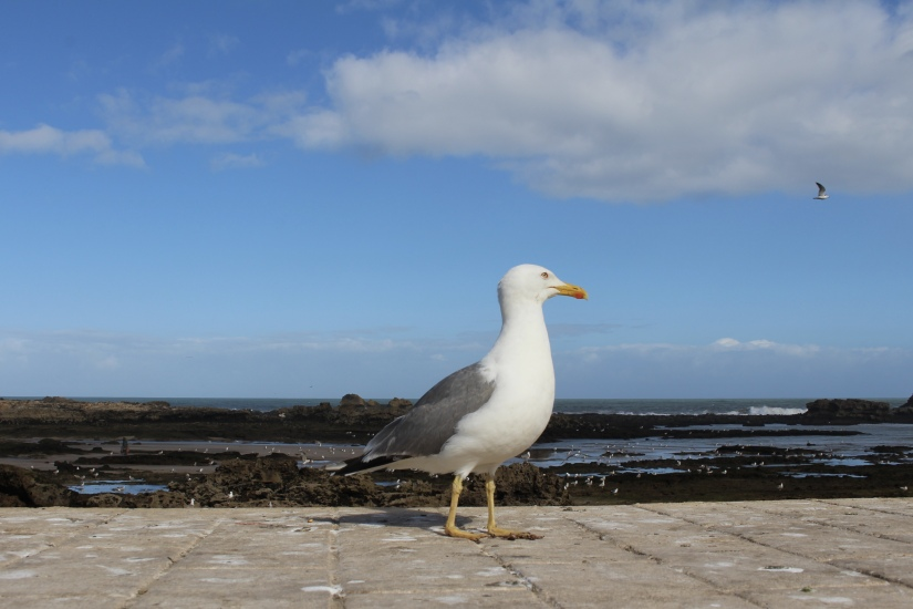 Seagull at Essaouira's port