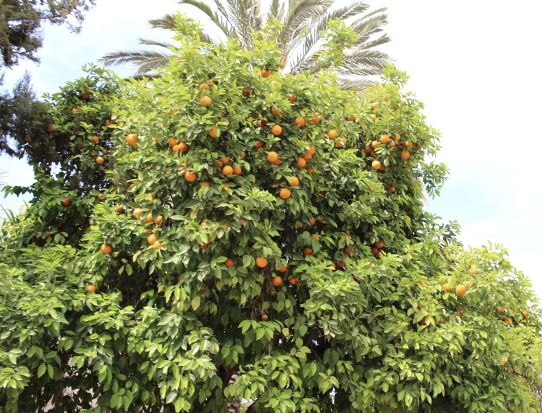 orange tree at Bahia Palace