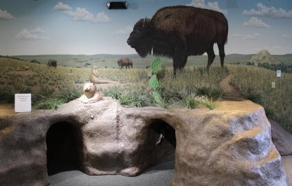 buffalo and hides