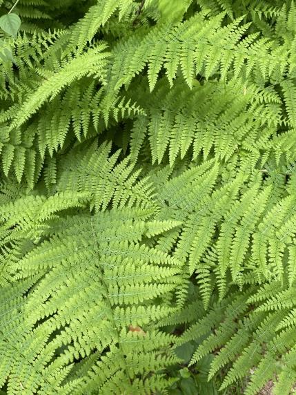 ferns along the gravel trail