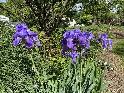 our irises