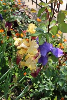irises outside of Montefioralle