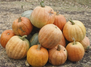 pumpkins along the eway
