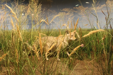 coyote in the grasslands