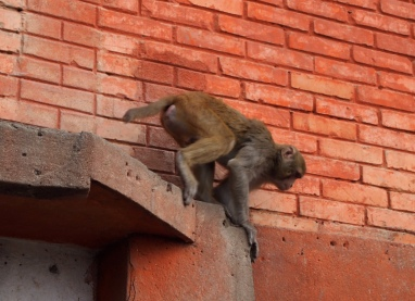"monkeys at ""The Monkey Temple"""