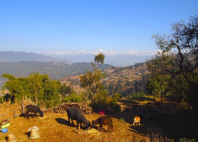cows, terraces & mountains