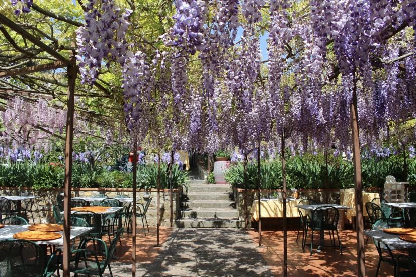 wisteria in Panzano