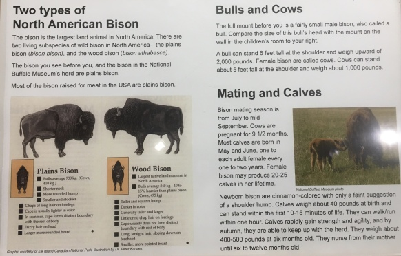 Two types of North American Bison