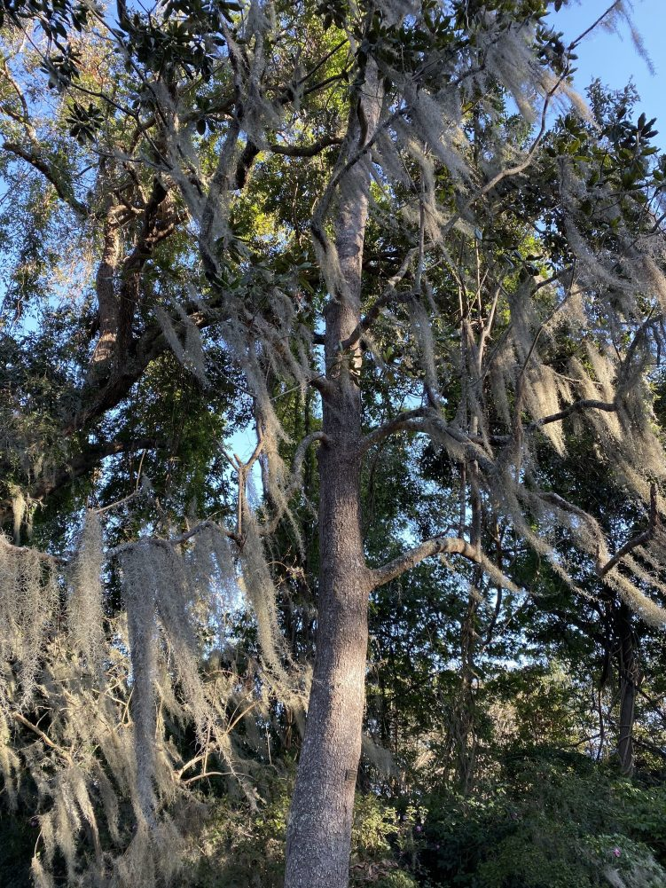 Spanish moss at Magnolia Plantations & Gardens