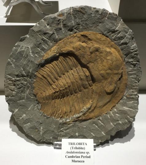 Trilobita (Trilobite) - Morocco