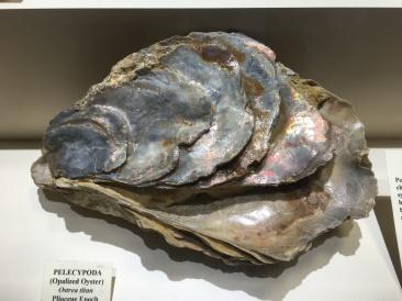 Pelecypoda (Opalized Oyster)