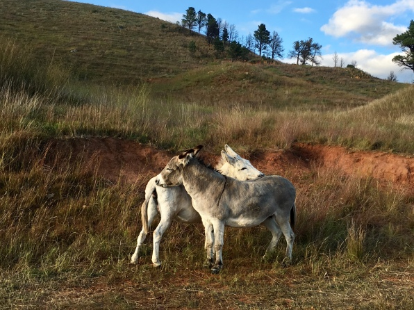 burros at Custer State Park Wildlife Loop