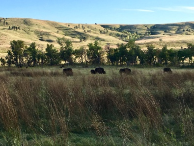 the bison herd in the distance