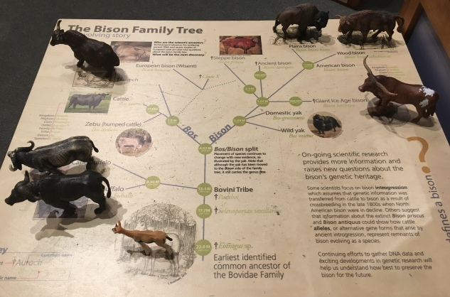 The Bison Family Tree