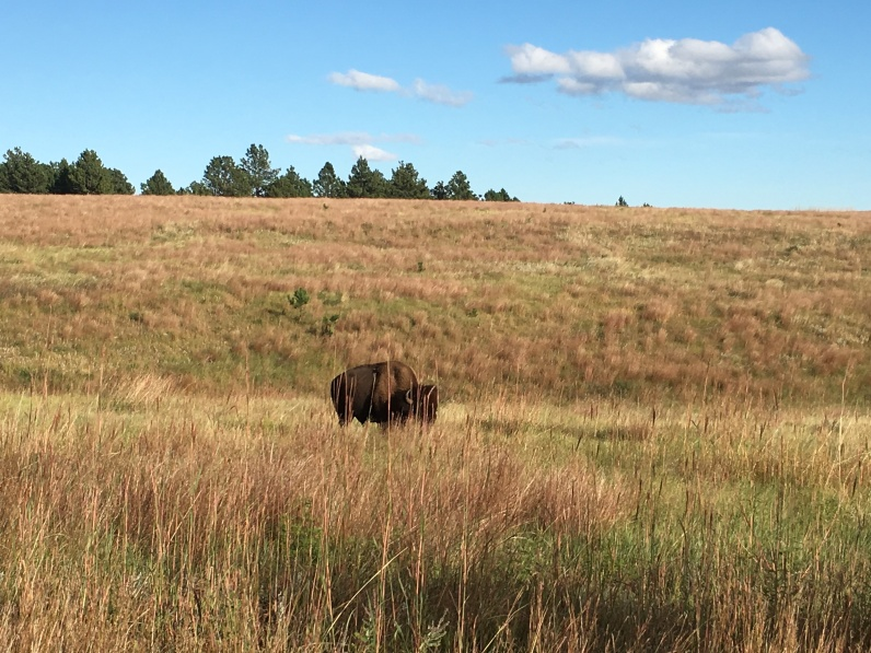 lone bison on the Custer Wildlife Loop